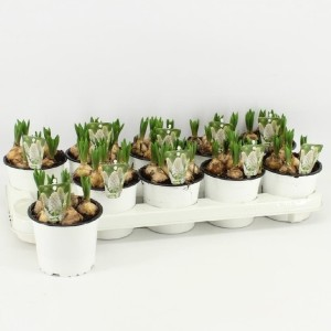 Muscari 'White Magic' (Amstelzicht BV)