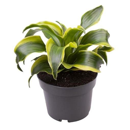 Dracaena fragrans 'Dorado' (Gasa DK)