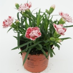Dianthus SUPER TROUPER SAMMY