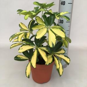 Schefflera arboricola 'Trinette' (Handelskwekerij van der Velden)