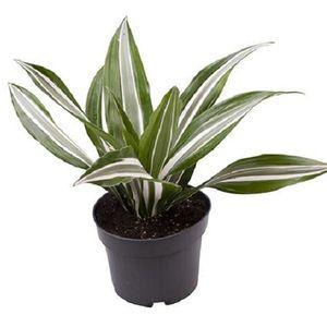 Dracaena fragrans 'Jade' (Gasa DK)