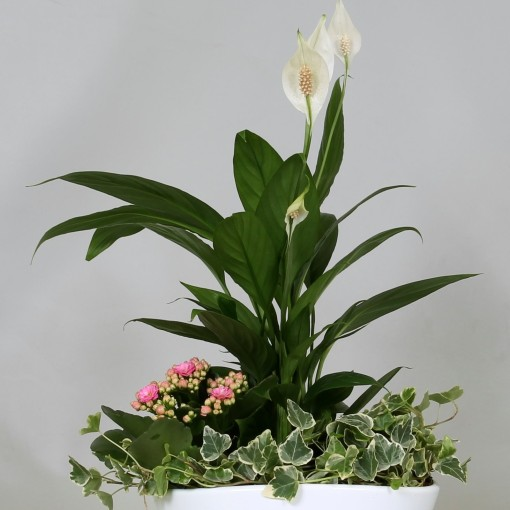 Arrangements Spathiphyllum (Groot BV, Kwekerij J. de )