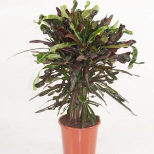 Codiaeum variegatum 'Mammi'