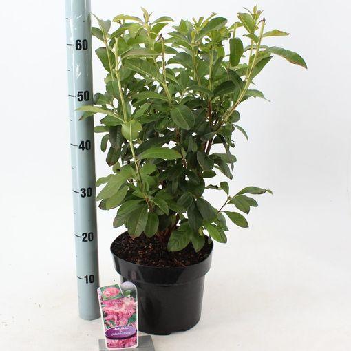 Rhododendron 'Jolie Madame' (About Plants Zundert BV)