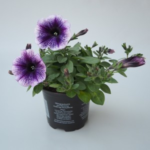 Petunia POTUNIA PICCOLA PURPLE ICE (Sonneveld Plants)