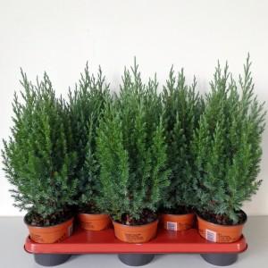 Juniperus chinensis 'Stricta' (Boomkwekerij Potcultuur Gebr. Rademaker)