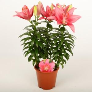 Lilium 'Tiny Pearl' (Wetering Potlilium)