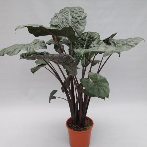 Alocasia 'Yucatan Princess' (JM plants)