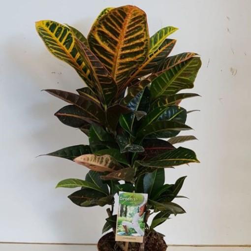 Codiaeum variegatum 'Petra' (Vireõ Plant Sales)