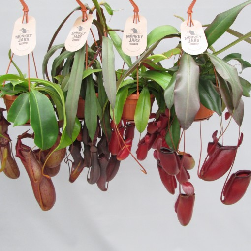 Nepenthes MIX (JM plants)