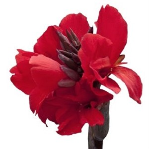 Canna 'Cannova Bronze Scarlet' (Vreugdenhil Bulbs & Plants)