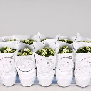 Kalanchoe blossfeldiana CALANDIVA WHITE