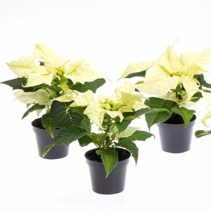 Euphorbia pulcherrima CHRISTMAS FEELINGS WHITE