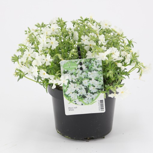 Phlox 'White Delight' (Kwekerij Baas)