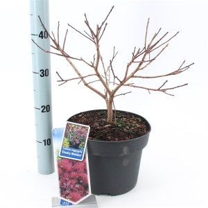 Cotinus coggygria  (About Plants Zundert BV)