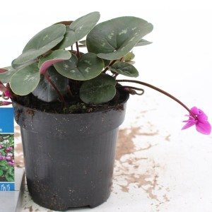 Cyclamen coum 'Cyberia Dark Rose'