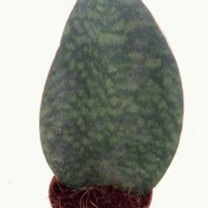 Sansevieria masoniana 'Congo' (Experts in Green)