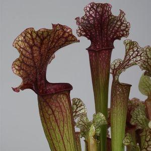 Sarracenia 'Judith Hindle' (Stricker Plants)