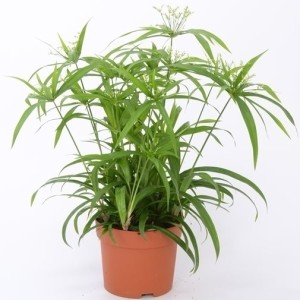 Cyperus papyrus 'Green Gold'