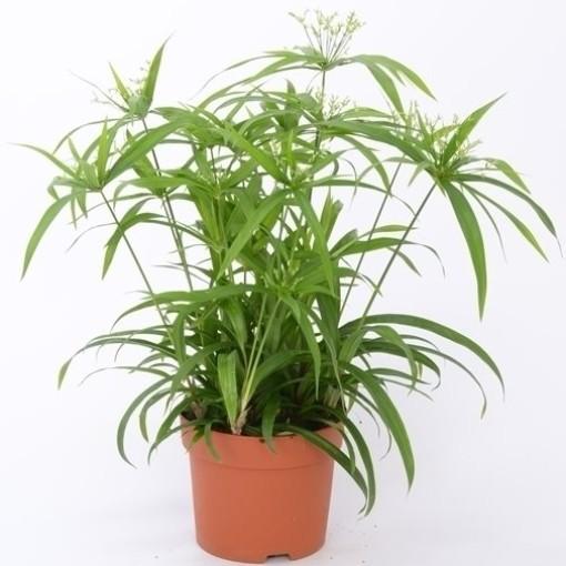 Cyperus papyrus 'Green Gold' (Bunnik Plants)
