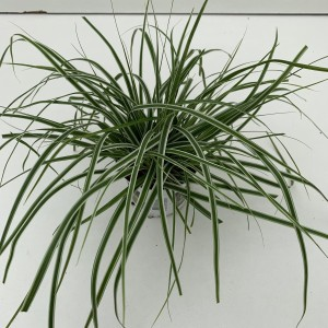 Carex oshimensis EVERCOLOR EVEREST