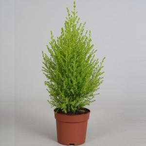 Cupressus macrocarpa 'Goldcrest Wilma' (Amstelzicht BV)