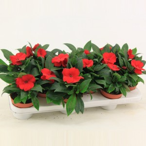 Impatiens COLORPOWER FIRE