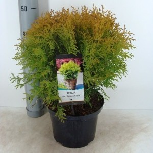 Thuja occidentalis 'Golden Globe' (Bremmer Boomkwekerijen)
