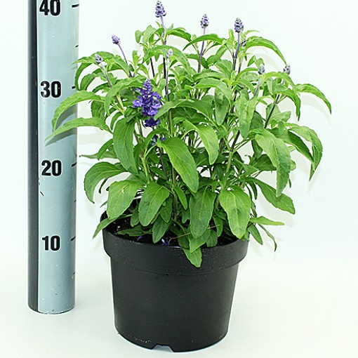 Salvia farinacea MIX (Experts in Green)