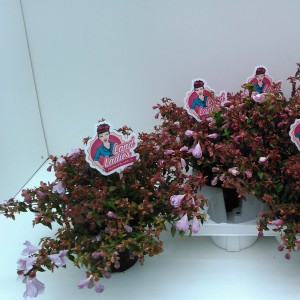 Abelia PINKY BELLS (Experts in Green)