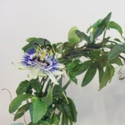 Passiflora caerulea (Plantcare BVBA)
