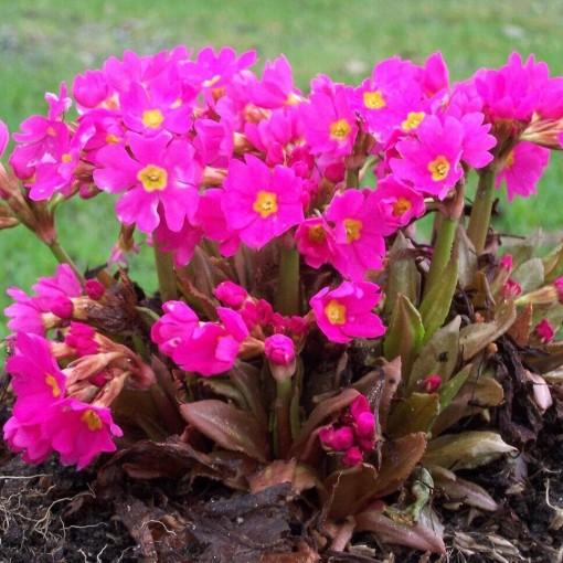 Primula rosea (Leeuw-den Engelsen)