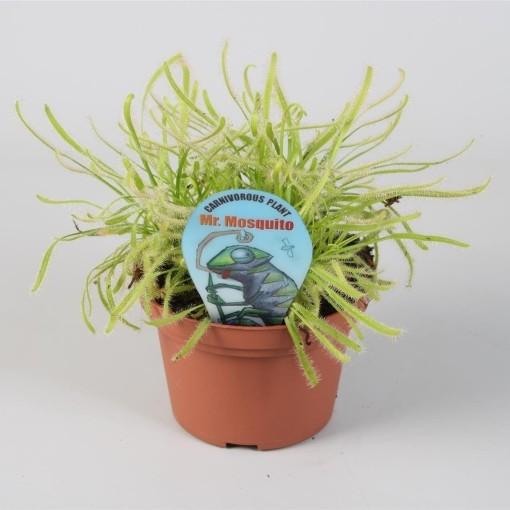Drosera capensis (Stricker Plants)