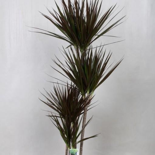 Dracaena marginata 'Magenta' (Vireõ Plant Sales)