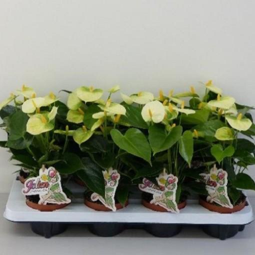 Anthurium VANILLA (Experts in Green)