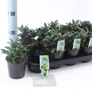 Skimmia japonica WHITE DWARF (About Plants Zundert BV)