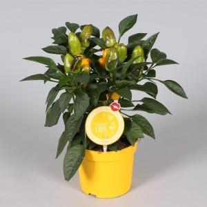Capsicum annuum 'Samba Yellow' (Adrichem Potplanten)