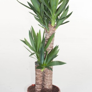 Yucca elephantipes (Ammerlaan )
