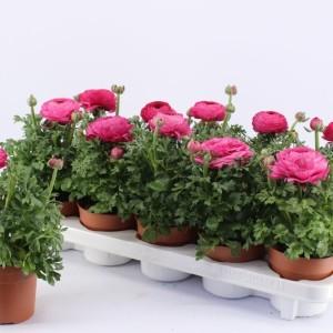 Ranunculus asiaticus 'Sprinkles Pink'