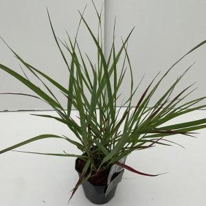 Panicum virgatum 'Squaw' (Cammeraat Potcultuur)