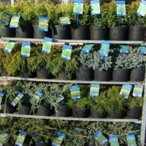 Conifers MIX (About Plants Zundert BV)