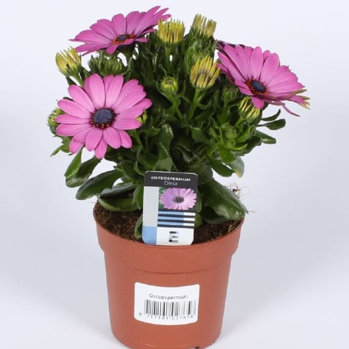 Osteospermum 'Sunny Diana' (Endhoven Flowering Plants)