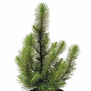 Pinus pinea 'Happy Star'