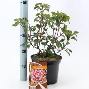 Kalmia latifolia 'Bandeau'