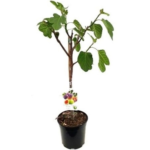 Ficus carica (RM Plants)