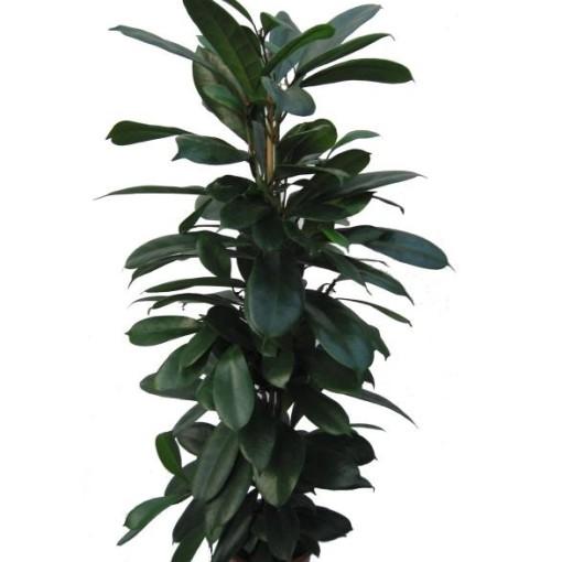 Ficus cyathistipula (Gasa DK)