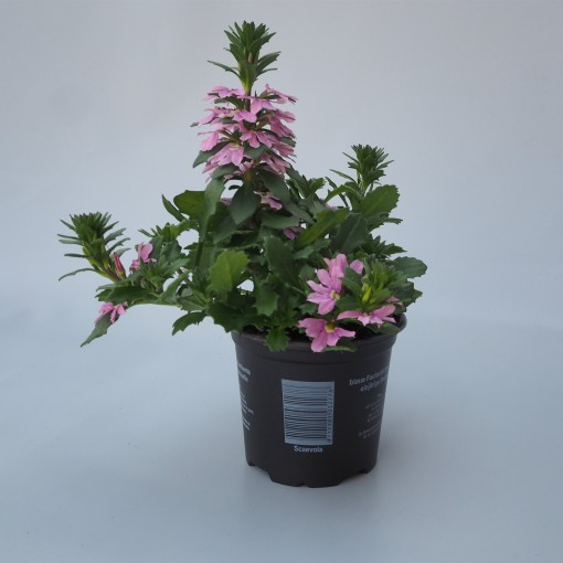 Scaevola SURDIVA PINK BLUE (Sonneveld Plants)