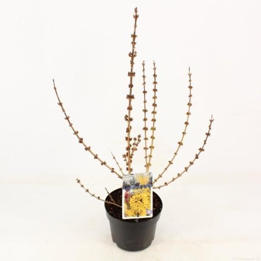 Forsythia x intermedia 'Mindor' (Snepvangers Tuinplanten BV)