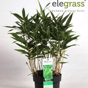 Sinarundinaria Nitida tsuboiana (Hoogeveen Plants)