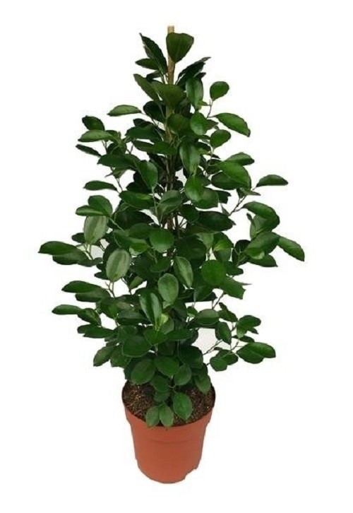 ficus microcarpa 39 moclame 39 p21cm h90cm floraccess wholesale of plants. Black Bedroom Furniture Sets. Home Design Ideas